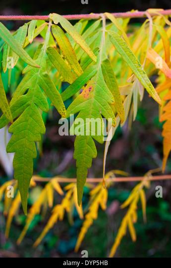 Leaf Caf Ef Bf Bd France