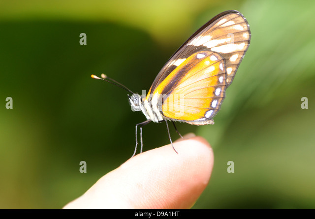 Tiny tiger mimic butterfly posed on a finger tip - Stock Image