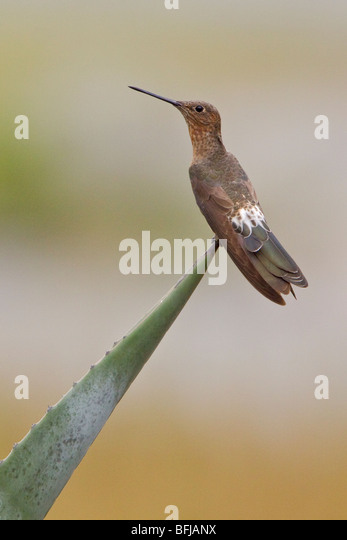 Giant Hummingbird (Patagona gigas) perched on a flowering plant near Quito in the highlands of central Ecuador. - Stock Image