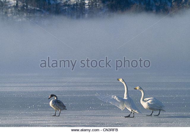 Whooper swans, Hokkaido, Japan - Stock Image