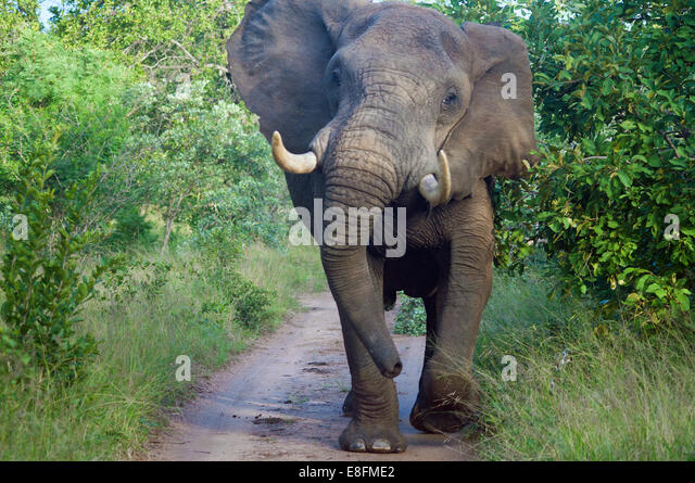 South Africa, Limpopo, Mopani District Municipality, Maruleng Local Municipality, Front view of elephant - Stock Image