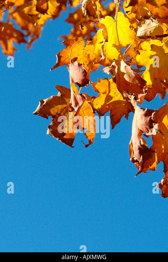 Vibrantly Colored Autumn Leaves with Copy Space - Stock Image