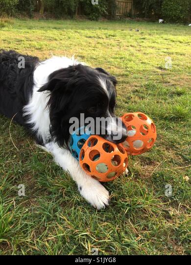 Dog with three balls in mouth - Stock Image