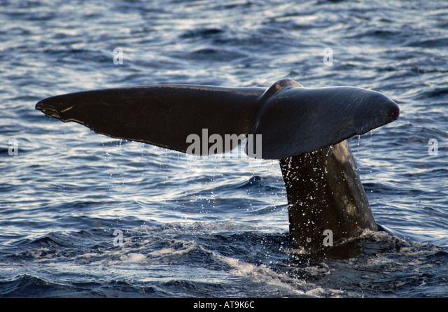 Dominica whale watching Sperm Whale tail Fluke - Stock Image