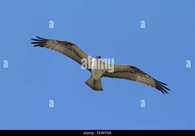 Osprey (Pandion haliaetus) soaring against blue sky - Stock Image