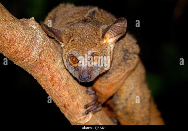Senegal bush baby, lesser bush baby, Senegal galago (Galago senegalensis), sitting on a branch, in the evening, - Stock Image