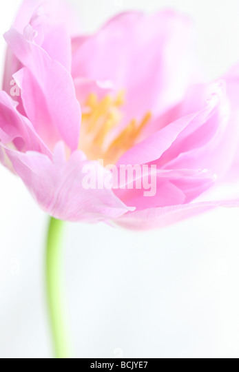 lilac perfection tulip portrait freeflowing and ethereal fine art photography Jane Ann Butler Photography JABP390 - Stock Image
