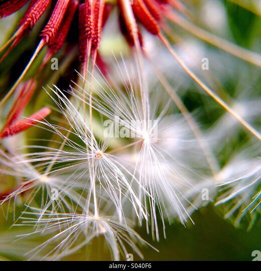 Dandelion seeds - Stock-Bilder