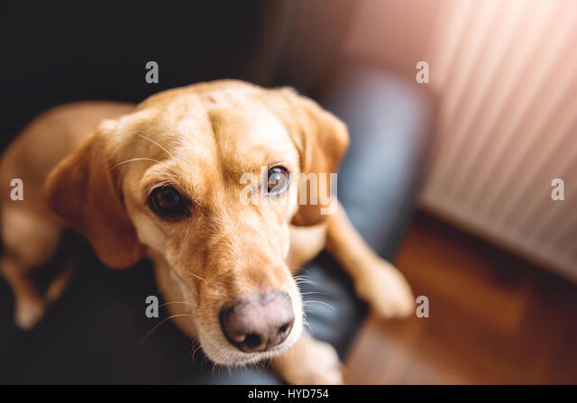 Small yellow dog sitting on black sofa - Stock Image
