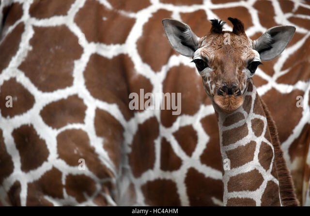 Cologne, Germany. 8th Dec, 2016. Sala the young reticulated giraffe pictured beside her mother Koobi in her enclosure - Stock Image
