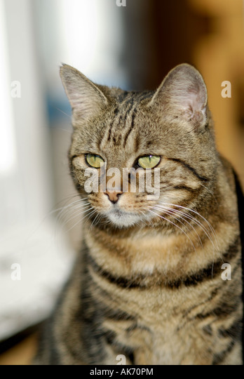 Pet cat, London, United Kingdom - Stock Image