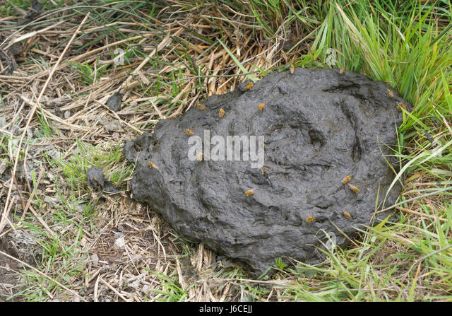 Cow poo / pat with dung with yellow dung flies (Scathophaga sterconia) visible. - Stock Image