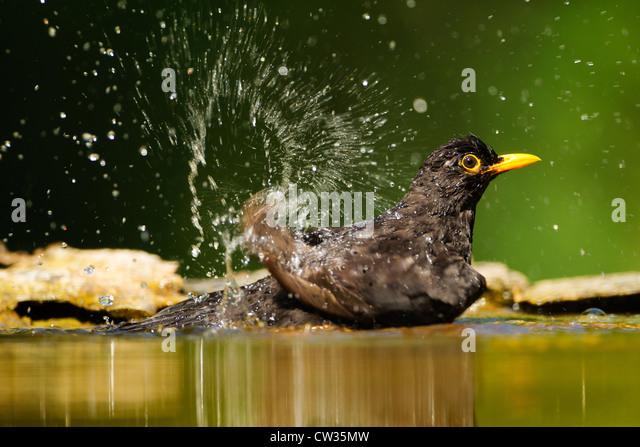 Common blackbird(Turdus merula) bathing.Hungry - Stock-Bilder