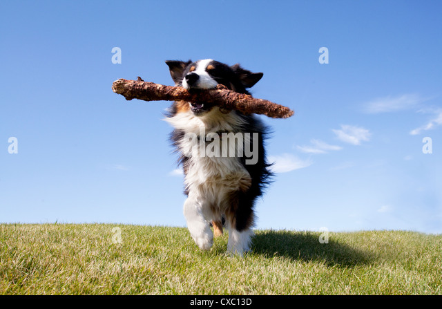 Australian shepherd running with stick on green grass. - Stock Image