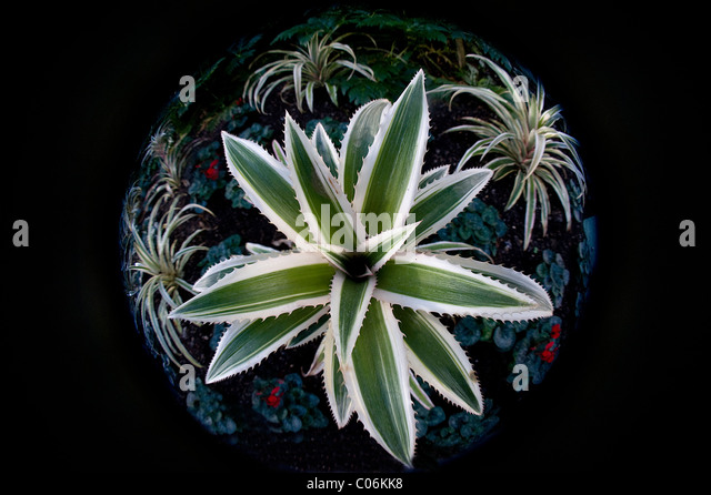A fish-eye image of the Red pineapple plant - Ananas bracteatus 'Tricolor' - Stock Image