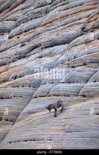 One Bighorn Sheep Ram on Checkerboard Mesa. Zion National Park, UT - Stock Image