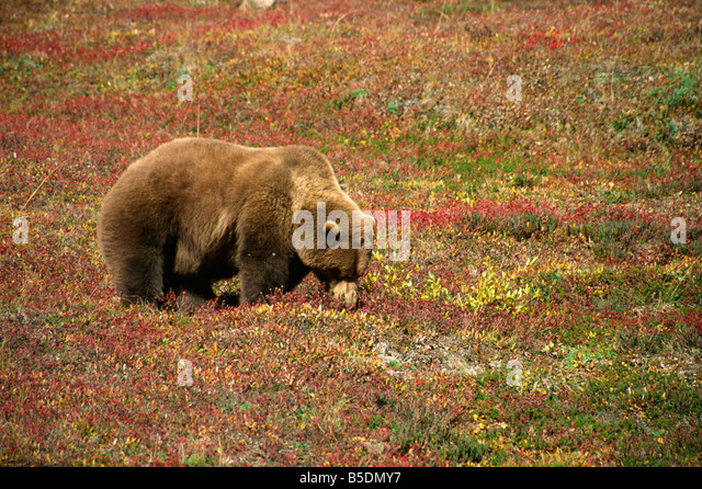 Alaskan brown bear grizzly grazing on tundra berries Denali National Park Alaska United States of America North - Stock Image