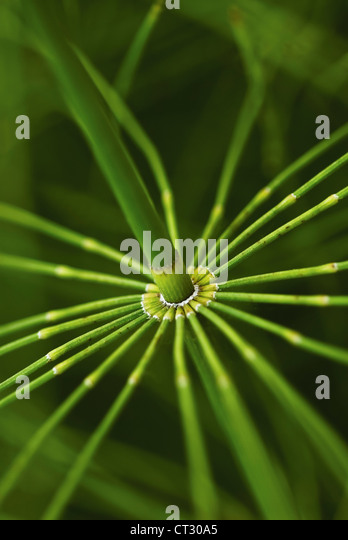 Equisetum arvense, Horsetail, Field horsetail detail of jointed segment on a green stem. - Stock Image
