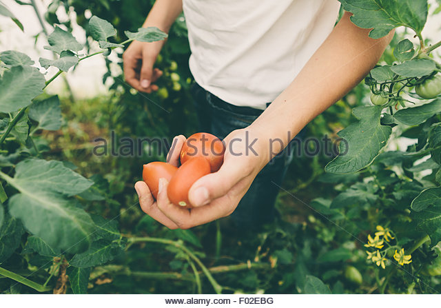 Hands of a teenage boy, holding freshly picked tomatoes - Stock Image