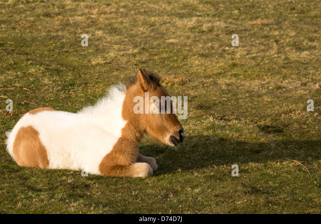 Young dartmoor foal lying down enjoying the spring sunshine. - Stock Image