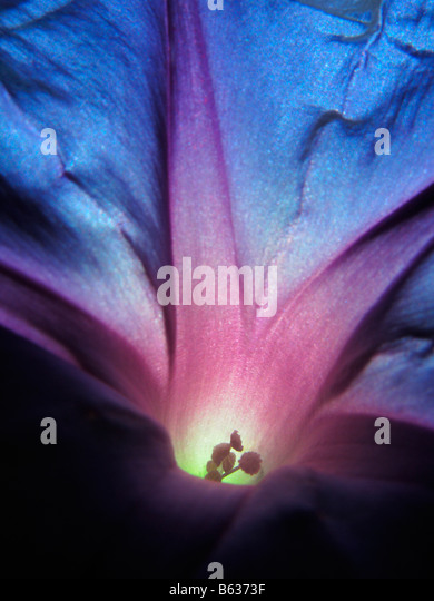 Close up of a blue and purple morning glory flower as sun light shines through it. - Stock Image