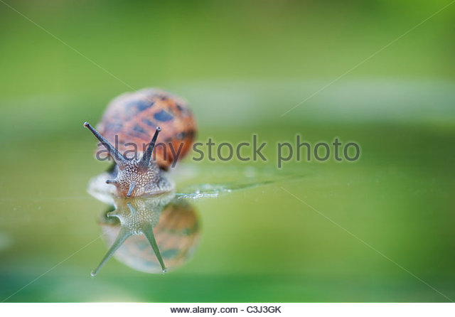 Garden snail with reflection on greenhouse glass. UK - Stock Image