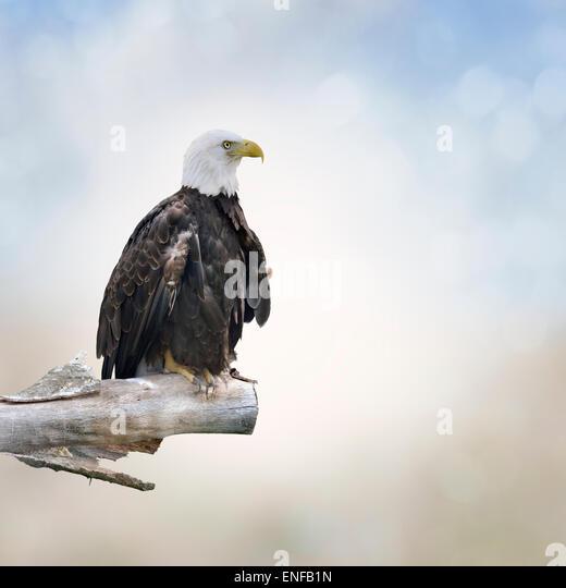 Bald Eagle Perched On A Log - Stock-Bilder