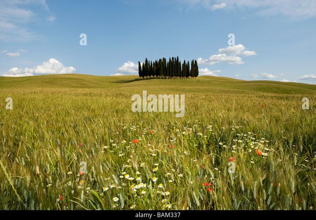 Cypress trees in field in siena - Stock Image