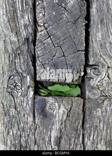 Megachile centuncularis leaf cutter Bee sealed nest - Stock-Bilder