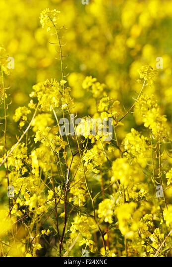 mustard seed flower stock photos amp mustard seed flower