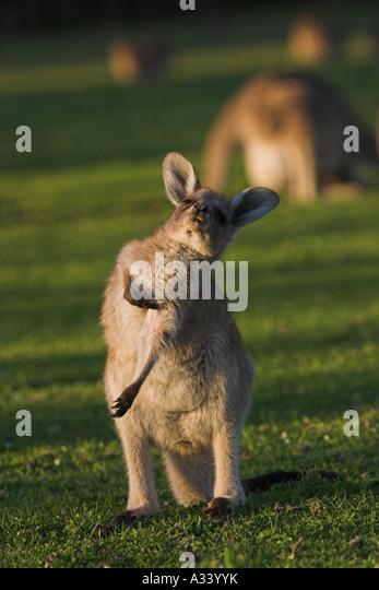 eastern grey kangaroo macropus giganteus, juvenile scratching - Stock Image