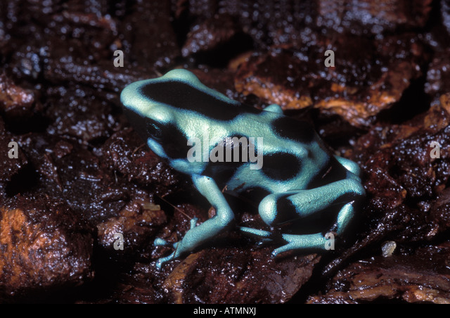 Dendrobates auratus 'Green', Black And Green Dart Frog of Costa Rica - Stock Image