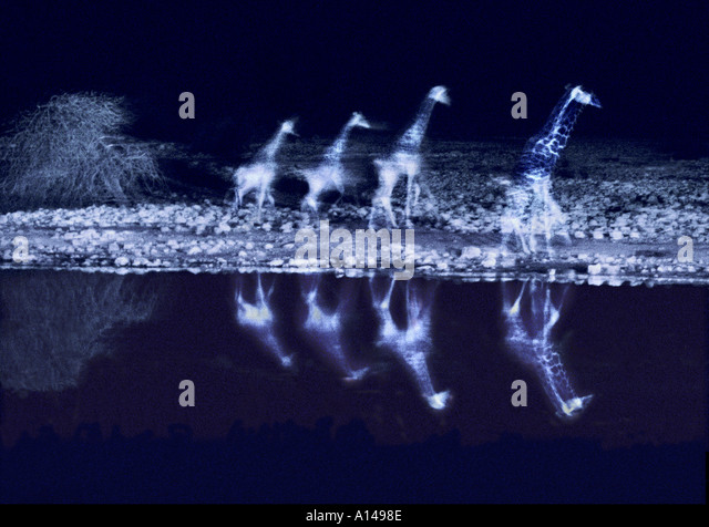Giraffes beside waterhole at night Etosha Namibia - Stock Image