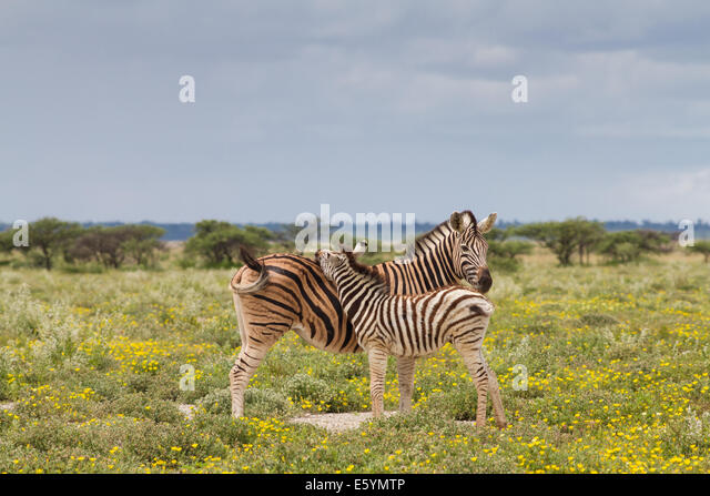 Young zebra and her mother, Etosha National Park, Namibia - Stock Image