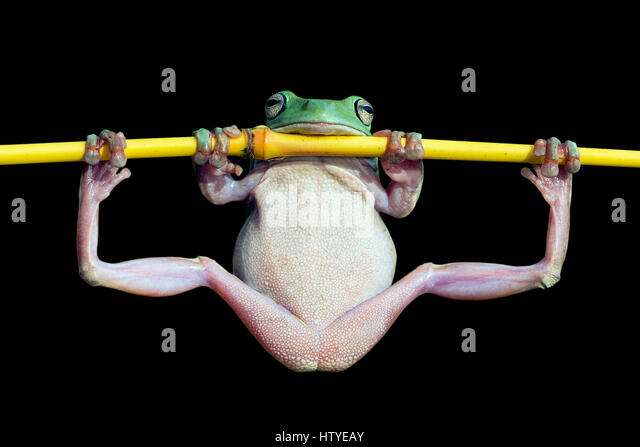 Dumpy frog doing gymnastics on a branch, Indonesia - Stock Image