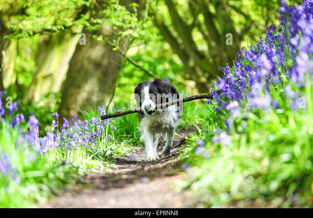 Target Wood, Stoke on Trent, Staffordshire, UK. 21st May 2015. UK Weather: Molly the Border Collie cross enjoying - Stock-Bilder