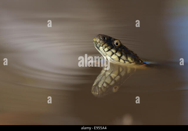 Dice Snake (Natrix tessellata), in the water, with reflection, Bulgaria - Stock Image