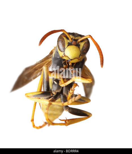 Macro Close Up of a Hornet on White Background - Stock Image