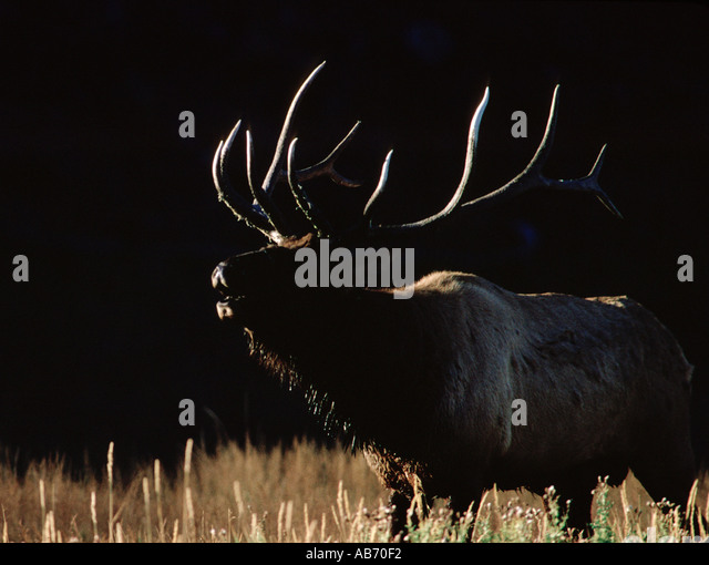 A 12 point bull elk bugles near Madison River Yellowstone National Park Wyoming COPYRIGHT DUANE BURLESON - Stock Image