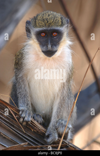 Young Green Vervet Monkey in the Gambia - Stock Image