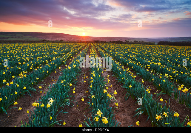 A Cornish daffodil field at sunrise, West Cornwall - Stock Image