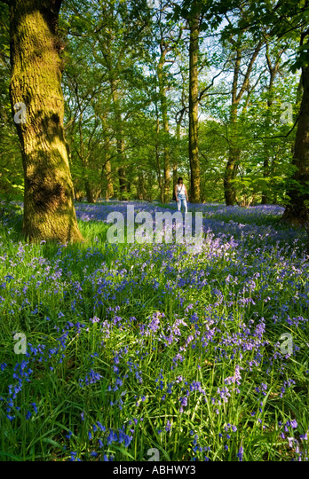 Girl Strolling Through Bluebell Covered Forest Cheshire UK - Stock Image