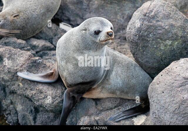 New Zealand Fur seal at Otago Peninsula, Dunedin, South Island, Otago, New Zealand, Pacific - Stock Image