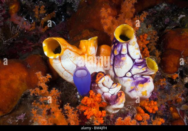 Golden Tunicate between Soft Corals, Polycarpa aurata, Raja Ampat, West Papua, Indonesia - Stock Image