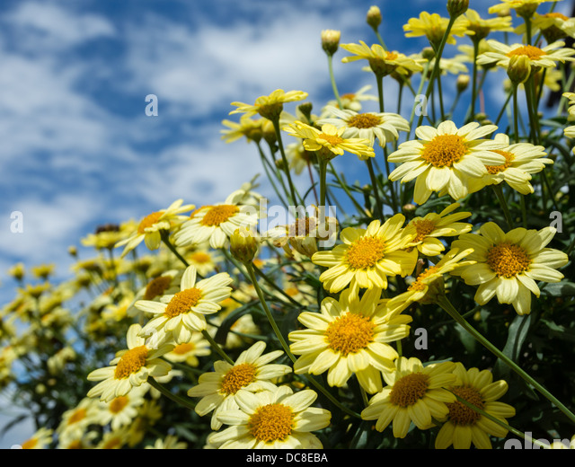 Bright yellow daisies against a summer sky. - Stock Image