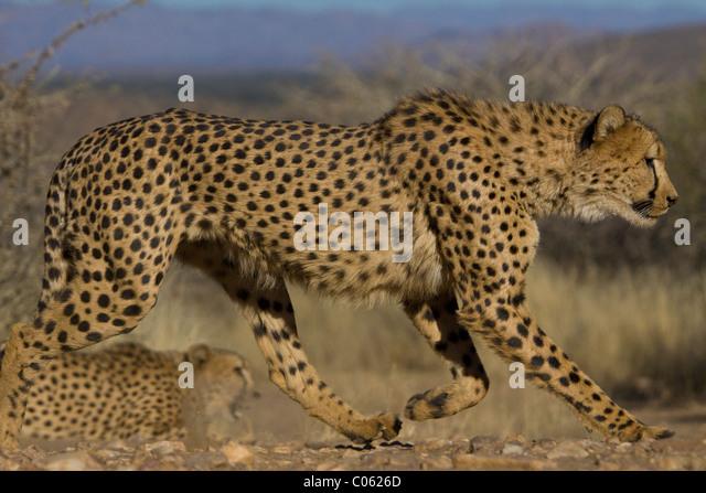 Cheetah running slowly, Khomas Hochland, Namibia - Stock Image