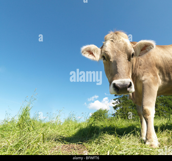 Cow in field - Stock Image