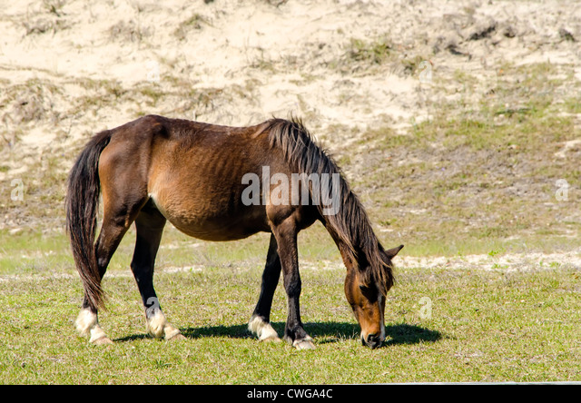 Wild Horse Grazing on Grass Currituck County on North Carolina Outer Banks - Stock Image