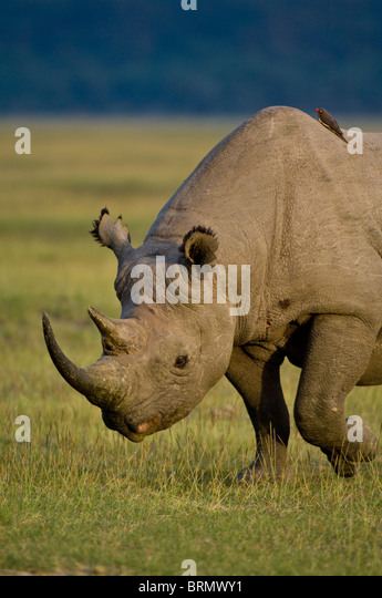 Portrait of a  Black rhinoceros (Diceros bicornis michaeli) East African sub-species. - Stock Image