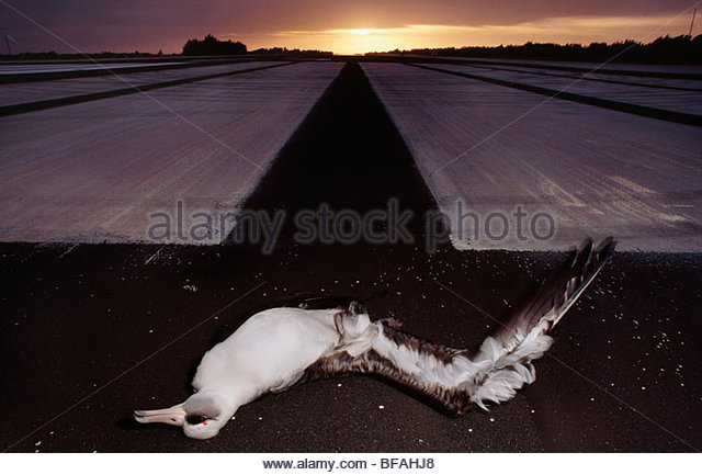 Laysan albatross crashed into airplane, Phoebastria immutabilis, Hawaiian Leeward Islands - Stock Image